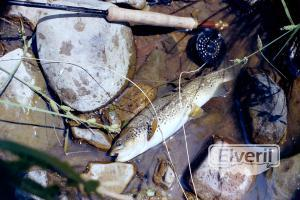 """Trucha del """"Pegoso"""", enviado por: creek"""