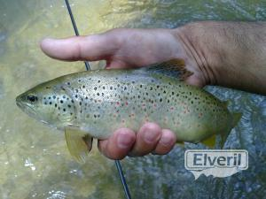 Bonito ejemplar del Rio Tus, sent by: Marco Campillo (Hellin) (Not registered)